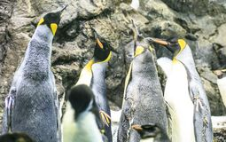 Grupo de pinguins em um jardim zoológico fotografia de stock royalty free