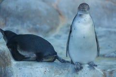 Grupo de pinguins en parque zoológico de Rusia, Moscú Foto de archivo