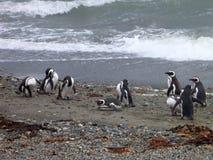 Grupo de pinguins en una orilla en la reserva otway del seno en chile Fotografía de archivo libre de regalías