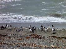 Grupo de pinguins en una orilla en la reserva otway del seno en chile Fotos de archivo libres de regalías