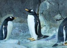 Grupo de pinguins de Gentoo na rocha Close-up bonito dos animais fotos de stock