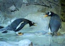 Grupo de pinguins de Gentoo na rocha Close-up bonito dos animais imagens de stock