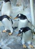 Grupo de pinguins de Gentoo na rocha Close-up bonito dos animais foto de stock