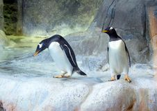 Grupo de pinguins de Gentoo na rocha Close-up bonito dos animais fotografia de stock royalty free
