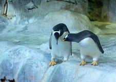 Grupo de pinguins de Gentoo na rocha Close-up bonito dos animais foto de stock royalty free