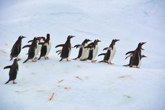 Grupo de pinguins de Gentoo que andam na Antártica fotografia de stock