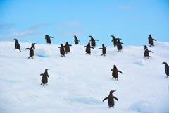 Grupo de pinguins de Gentoo que correm para fora no iceberg na Antártica imagem de stock