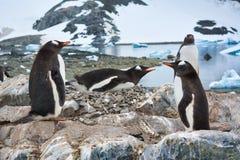 Grupo de pinguins de Gentoo que descansam na Antártica imagem de stock