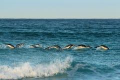 Grupo de pinguins de Gentoo que mergulham em Oceano Atlântico fotos de stock royalty free