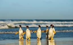 Grupo de pinguins de Gentoo que vêm de Oceano Atlântico imagem de stock