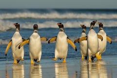 Grupo de pinguins de Gentoo que voltam do mar imagem de stock