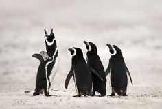 Grupo de pinguins de Magellanic em um Sandy Beach imagens de stock royalty free