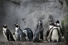 Grupo de pinguins no fundo das rochas imagens de stock