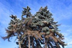 Grupo de pinheiros imagem de stock royalty free