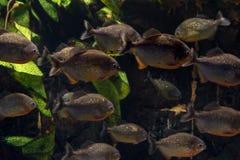 Grupo de pirañas que flotan en un acuario Imágenes de archivo libres de regalías