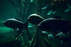 Grupo de piranhas na água imagem de stock royalty free