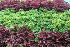 Grupo de planta do Coleus arranjado em ordem imagem de stock