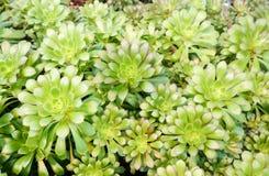 Grupo de plantas del succulent de Arboreum del Aeonium Imagenes de archivo