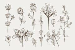 Grupo de plantas ervais e selvagens, de baga e de ramos Ilustração gravada botânica do vintage Natural tirado mão do vetor Fotografia de Stock Royalty Free