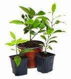 Grupo de plantas novas do citrino isoladas no branco Imagens de Stock Royalty Free