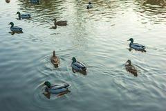 Grupo de platyrhynchos dos Anas dos patos selvagens que nada ao longo do lago em uma noite morna do outono durante o por do sol Fotos de Stock Royalty Free