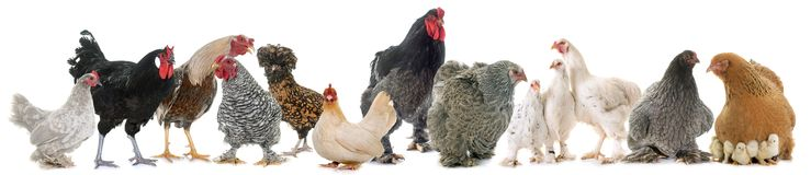 Grupo de pollo Fotos de archivo libres de regalías