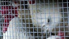 Grupo de pollo en jaula del metal