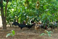 Grupo de pollo en yarda o granja del jardín imagenes de archivo