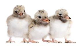 Grupo de polluelo en una fila - esternones de la golondrina de mar de tres campos comunes Foto de archivo