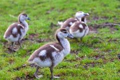 Grupo de polluelos Fotografía de archivo