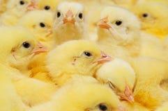 Grupo de polluelos del bebé Imágenes de archivo libres de regalías