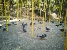Grupo de pombo no parque imagens de stock