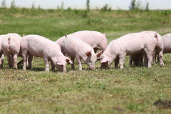 Grupo de porcos pequenos que comem a grama verde fresca no prado Imagens de Stock