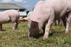 Grupo de porcos pequenos que comem a grama verde fresca no prado Fotografia de Stock