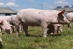 Grupo de porcos pequenos que comem a grama verde fresca no prado Imagem de Stock
