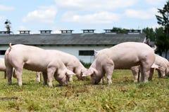Grupo de porcos pequenos que comem a grama verde fresca no prado Foto de Stock
