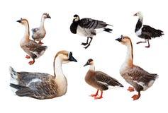 Grupo de poucos gansos sobre o branco Imagem de Stock