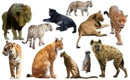 Grupo de predadores africanos isolados sobre o branco Fotos de Stock Royalty Free