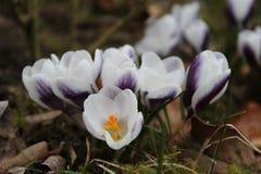 Grupo de prins de florescência claus do chrysanthus do açafrão Foto de Stock Royalty Free
