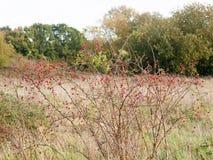 Grupo de quadris cor-de-rosa selvagens maduros vermelhos em bagas do outono do arbusto Fotos de Stock Royalty Free