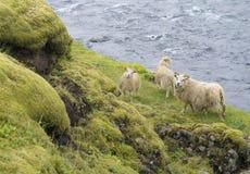Grupo de quatro carneiros islandêses, de mãe e de cordeiro estando no banco fotografia de stock