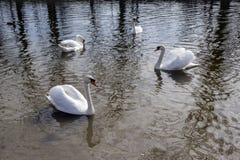 Grupo de quatro cisnes no rio de Odra, os pássaros os maiores das aves aquáticas com penas brancas fotografia de stock royalty free
