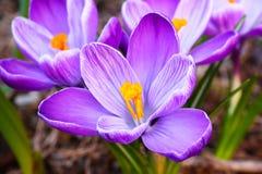 Grupo de ramalhete do longiflorus do açafrão da flor do açafrão de açafrões roxos Fotografia de Stock Royalty Free