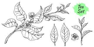 Grupo de ramo do arbusto do chá Esboço realístico Produto orgânico Vetor Foto de Stock