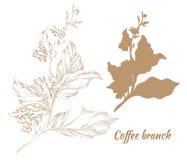 Grupo de ramos da árvore de café com folhas e feijões Vetor Fotografia de Stock
