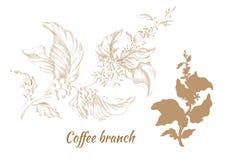 Grupo de ramos da árvore de café com folhas e feijões Vetor Imagem de Stock Royalty Free