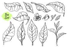 Grupo de ramos das peças do arbusto do chá esboço nave Produto orgânico Vetor Fotografia de Stock Royalty Free