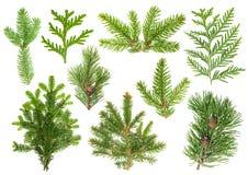 Grupo de ramos de árvore conífera Abeto vermelho, pinho, thuja, abeto Imagem de Stock Royalty Free