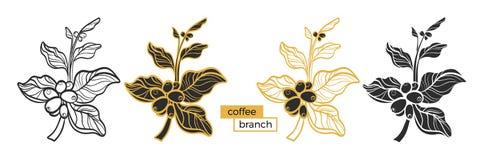 Grupo de ramos diferentes da árvore de café com folhas e os feijões de café naturais Vetor Fotos de Stock