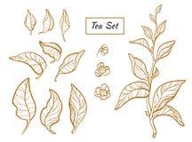 Grupo de ramos do arbusto do chá Vetor realístico Foto de Stock Royalty Free